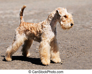 Lakeland Terrier standing - Young Lakeland Terrier dog...