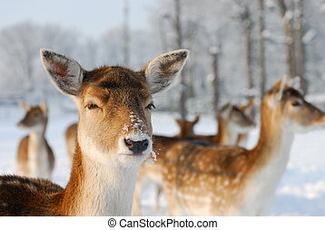 Cute deer in winter The Netherlands Elswout Overveen