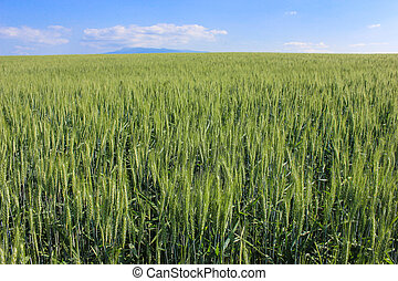 landscape wheat fields on a sunny summer day