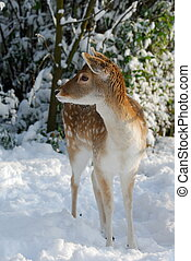 Cute deer in winter