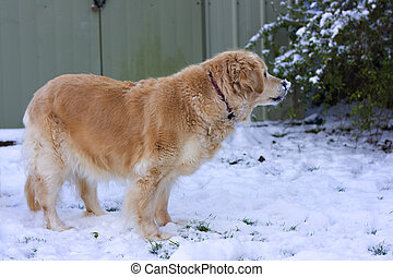 Retriever in the snow - A Golden Retriever standing in the...