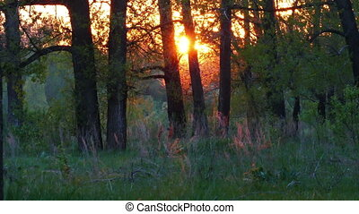summer forest landscape at sunset
