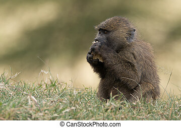 Baby baboon in grass eating with paws - A baby baboon is...