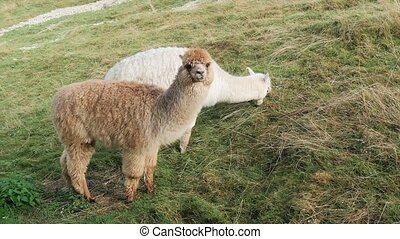 cute alpacas portrait - An alpaca is a domesticated species...