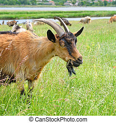 domestic goats grazing on pasture