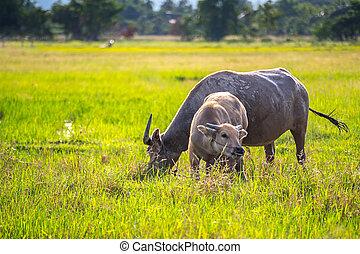 Water Buffalo. - Water Buffalo graze in pastures.