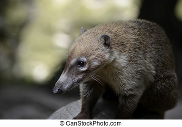 Young South American Coati - Nasua nasua, the South American...