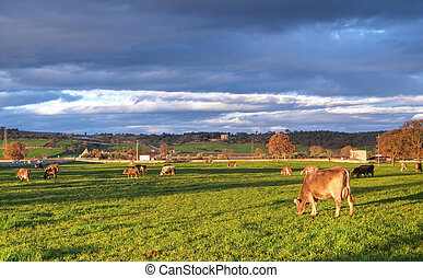 Cows grazing - These are cows in green pasture to the sunset...