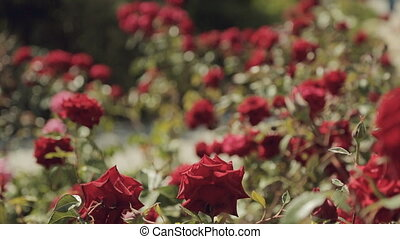 Garden of beautiful red bush roses in summer