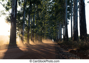 Narrow lane of eucalyptus trees with dust on dirt road -...