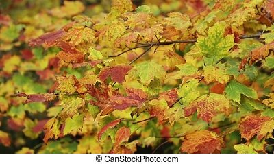 Leaves at Cut River Loop - Colorful autumn leaves blow in a...