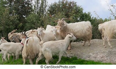 kashmir goats portrait - A cashmere goat is any breed of...