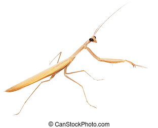 European mantis, praying mantis, mantis religiosa isolated...