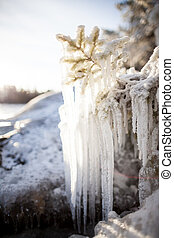 Long icicles frozen branch - Long icicles frozen conifer...