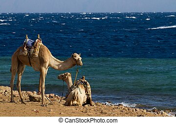 Camels parked on the beach at the Blue Hole, Dahab - Camels...