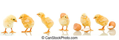 Lots of baby chicken in different positions - isolated with...