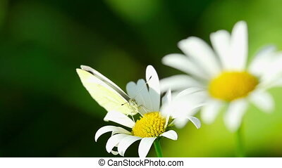 Butterfly on a flower daisies