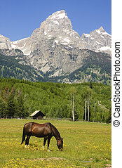 pastoral sceni of the Tetons - pastoral scene of horses...