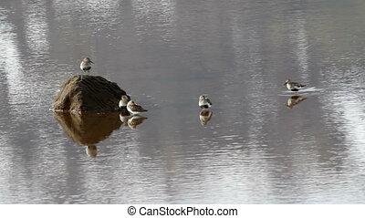Dunlin Birds