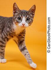 little kitten with big eyes - grey tiger kitten stand...