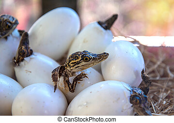 stuff of Little baby crocodiles are hatching from eggs.