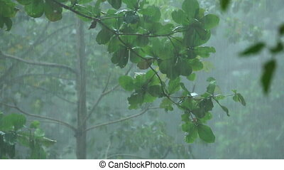 Tropical downpour - Raindrops on the leaves of a tree during...