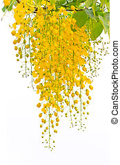 flower - Cassia fistula, beautiful yellow flower on isolated...