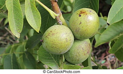 Walnut ripe nuts.A bunch of nuts,sway in the wind