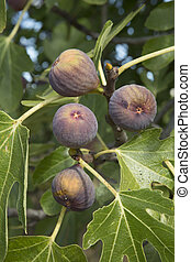 Figs - figs on the fig tree