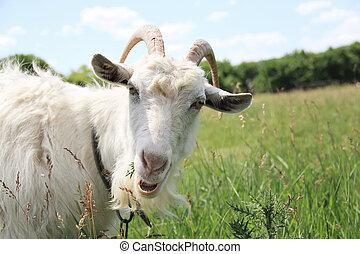 Goat - White cute goat grazing in green meadow