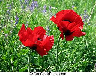 alpine meadow flowers of spring - Two red poppy flowers in...
