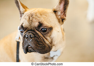 Dog French Bulldog - Brown Dog French Bulldog Close Up...