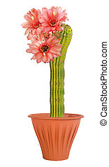An Easter lily cactus with a flowers