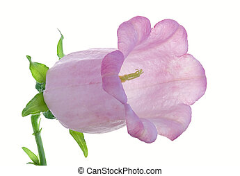 bellflower - Studio Shot of Lilac Colored Bellflower...