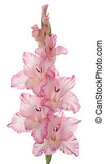 gladiolus - Studio Shot of Pink Colored Gladiolus Isolated...