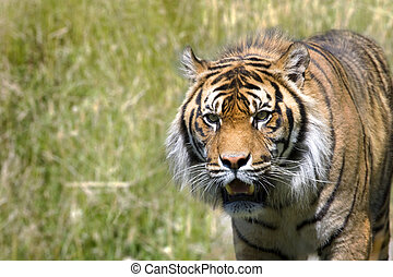 Stalking Tiger - Image of a tiger hunting in long grass...
