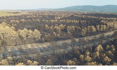 Burnt pine tree forest with road and car, aerial view -...