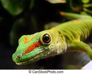 gecko - close up photo of a captive madagascar giant day...