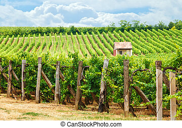 Old vineyard of Blaufrauml;nkisch blue Frankish grape - Old...