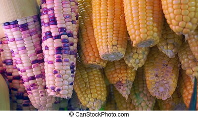 Video of purple and yellow corn