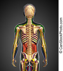 Lymphatic, skeletal, nervous and circulatory system of male...