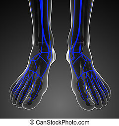 foot circulatory anatomy - 3d rendered illustration of foot...