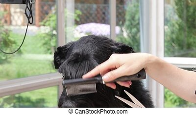 Grooming of Giant Black Schnauzer - Footage is showing...