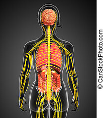 Female body of Nervous and digestive system artwork -...
