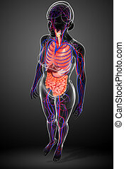 Digestive and circulatory system of female body - Digestive...