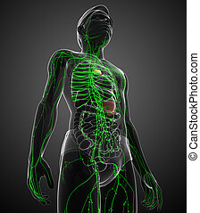 Lymphatic system of male body - Illustration of male body...