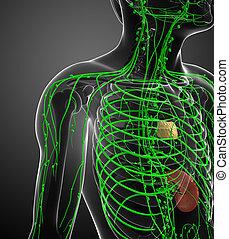 cuerpo, macho, linfático, Sistema