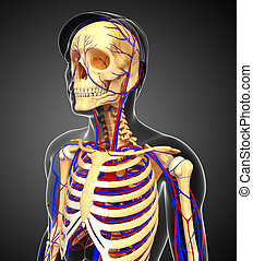 male skeletal circulatory system - Illustration of male...