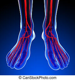 Human foot arterial system - 3d rendered illustration of...