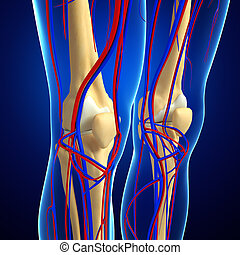 human knee circulatory system - Illustration of human knee...